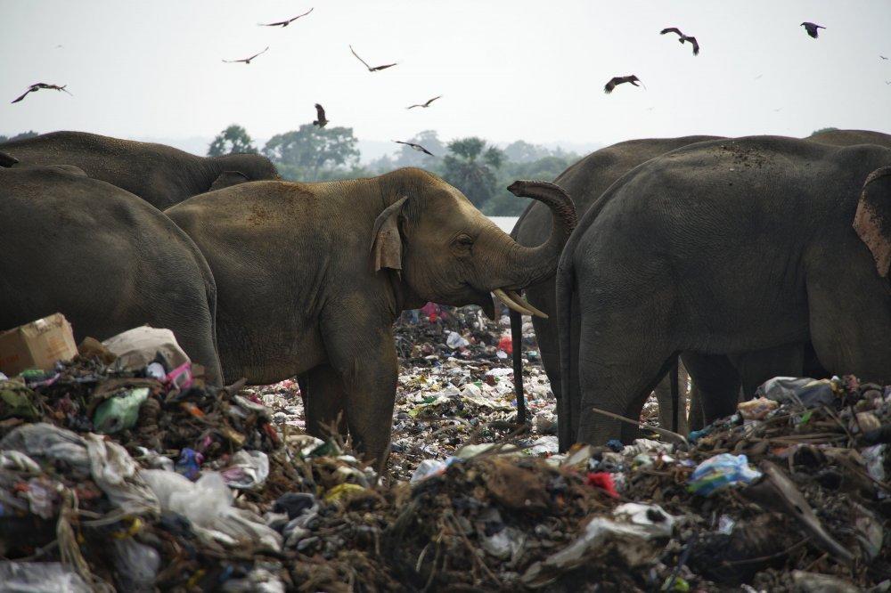 sri lanka slony utrpenie klimanews